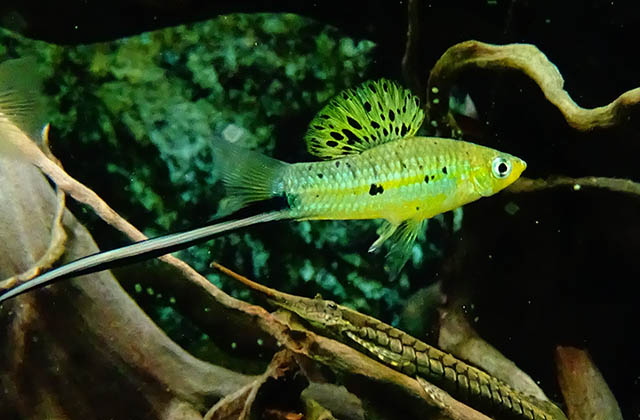 swordtail neon green fish