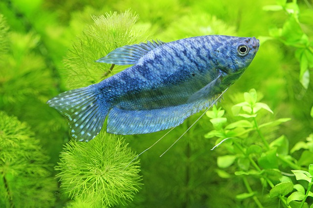 blue gourami fish